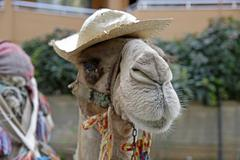 Stock Photo of Turkey, Alanya, Camel wearing hat, close-up