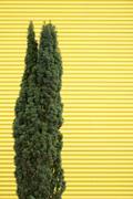 Stock Photo of Single arbor vitae (Thuja occidentalis), close up