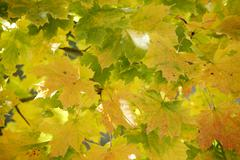 Germany, Bavaria, Norway Maple (Acer platanoides L.), close up - stock photo