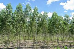 Eucalyptus plantation Stock Photos