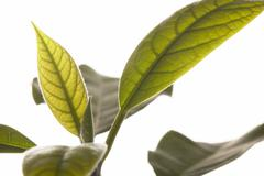 Avocado plant (Persea americana), close-up of leaves Stock Photos