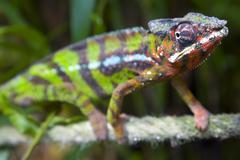 Africa, Madagaskar, Panther chameleon (Furcifer pardalis), close-up - stock photo