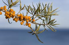 Germany, Mecklenburg-Vorpommern, Rugen, Kap Arkona, sallow thorn (Hippophae Stock Photos