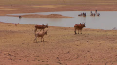 Cattle walk to a river to drink while children play in mali, Africa. Stock Footage
