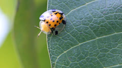 Lady bug on green leaves. - stock footage