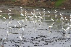 great egrets (ardea alba), also known as great white egret, common egret, or  - stock photo