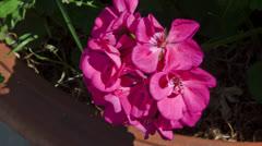 Hydrangea macrophylla Stock Footage