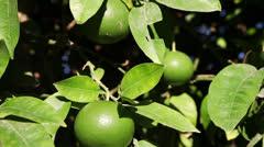 Unripe oranges - stock footage
