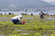 Stock Photo of people collecting shellfish, miyajima, japan