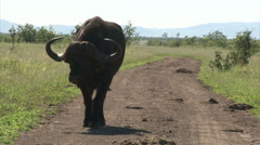 Walking buffalo on the road Stock Footage
