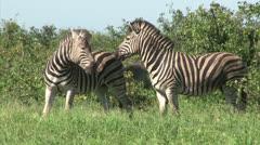 Group of Burchell's Zebra Stock Footage