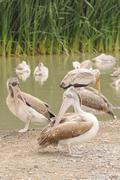 Great white pelicans (pelecanus onocrotalus). Stock Photos