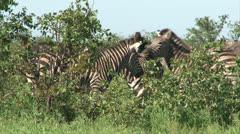 Group of Burchell's Zebra - stock footage