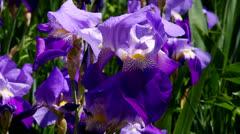 Iris Stock Footage