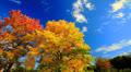 Autumn landscape, maple tree krone foliage, time-lapse. Footage