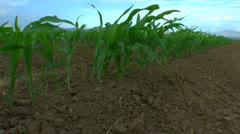 Young Corn Stalks Stock Footage