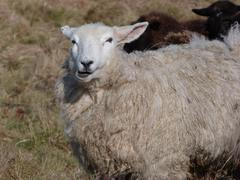 A Romney Ewe - stock photo
