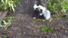Skunk Mother Baby Stock Footage