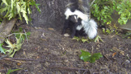 Stock Video Footage of Skunk Mother Baby