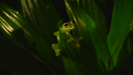 Stock Video Footage of A green tree frog sits in the rainforest at night.