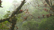Stock Video Footage of Fog and mist blows through a mountaintop rainforest in Costa Rica.