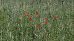 Poppies blooming in corn field - rye - secale cereale Stock Footage