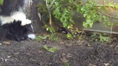 Skunk Baby Nursing - stock footage