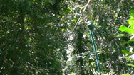 Stock Video Footage of A man ziplines through a jungle ravine in Costa Rica.