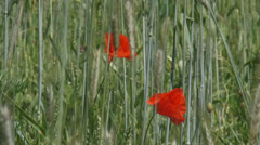 Poppies blooming in corn field - rye - secale cereale - close up Stock Footage