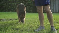 Dog Stands Alongside Runner Stock Footage