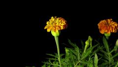 Marigold Time-lapse Stock Footage