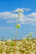 buckwheat inflorescence above field - stock photo