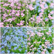 Forget-me-not flowers collage Stock Photos