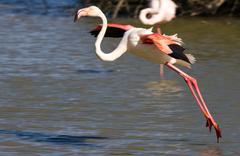 Flamingo preparing for touchdown Kuvituskuvat