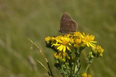 ringlet butterfly - stock photo