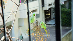 Couple parrots feeding each other Stock Footage