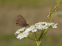 ringlet butterfly feeding - stock photo