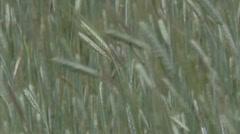 Corn field - rye grain waving in wind - close up Stock Footage