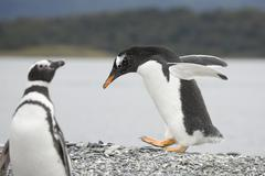 walking pinguin - stock photo
