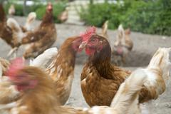 many chickens on the farm - stock photo