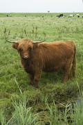 Stock Photo of scotch highlander cow