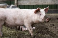 natural pig - stock photo
