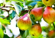 Stock Photo of beautiful pears on branch