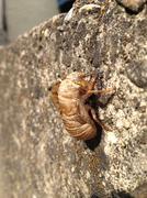 Cicada Skin - stock photo