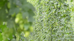 Hop-garden Stock Footage