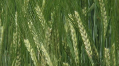 Barley field, hordeum vulgare - close up Stock Footage