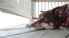 Sleepy dog laying on wooden deck Stock Footage