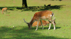 Brown sika deer 1/6 Stock Footage