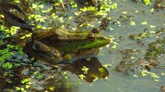 Green marsh frog. Stock Footage