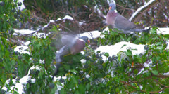 Wild pigeons in search of food. Stock Footage